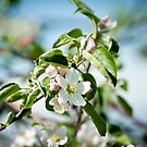 Apple Blossom 1 by Jacinthe Brault