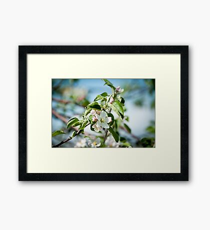 Apple Blossom 1 Framed Print