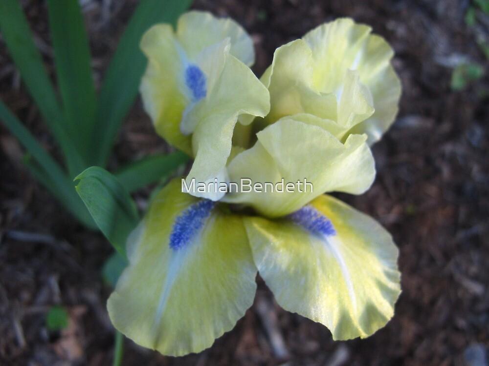Playful Iris by MarianBendeth