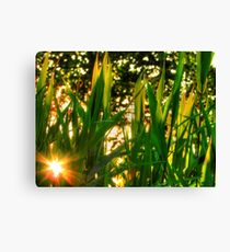 Sun-flare through the Johnson Grass Canvas Print