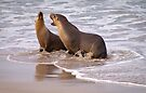 Sea lions playing or? by Ian Fegent