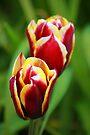 Tulips by John Dalkin