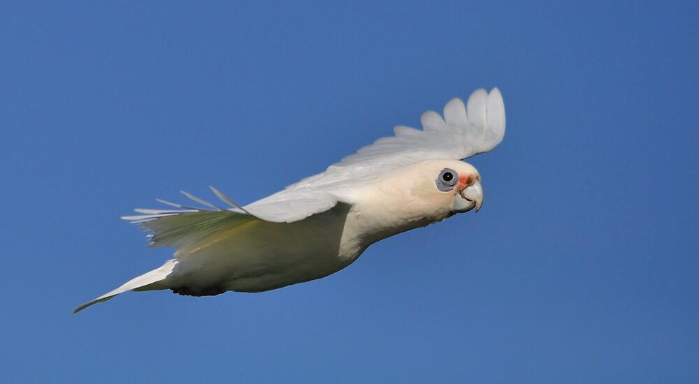 Little Corrella in Flight by Glen  Robinson