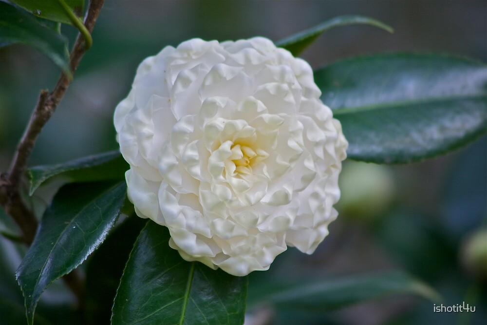 Soft White Petals by ishotit4u