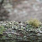 Lichen on a Branch by TheaShutterbug