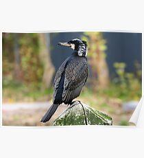 Great Cormorant Poster