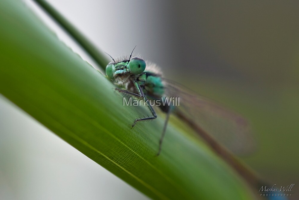 Dragonfly by MarkusWill