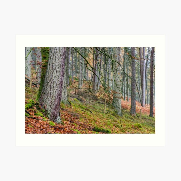 Pine Forest in Claerwen Valley Mid Wales Art Print