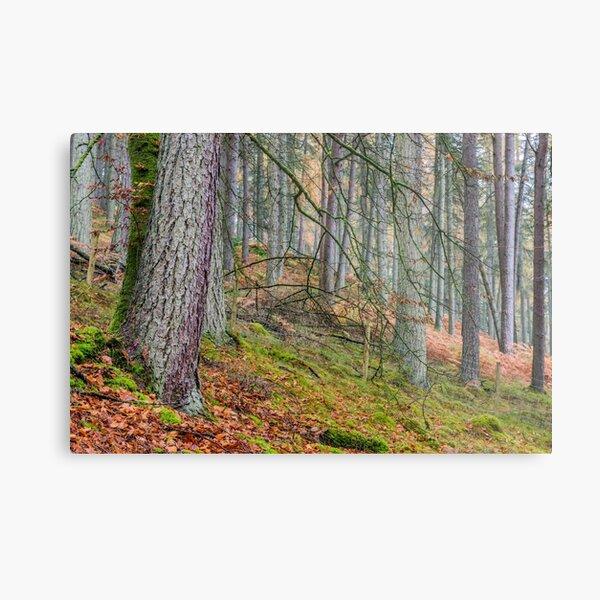 Pine Forest in Claerwen Valley Mid Wales Metal Print