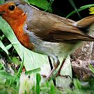 Rambling Robin  by J J  Everson