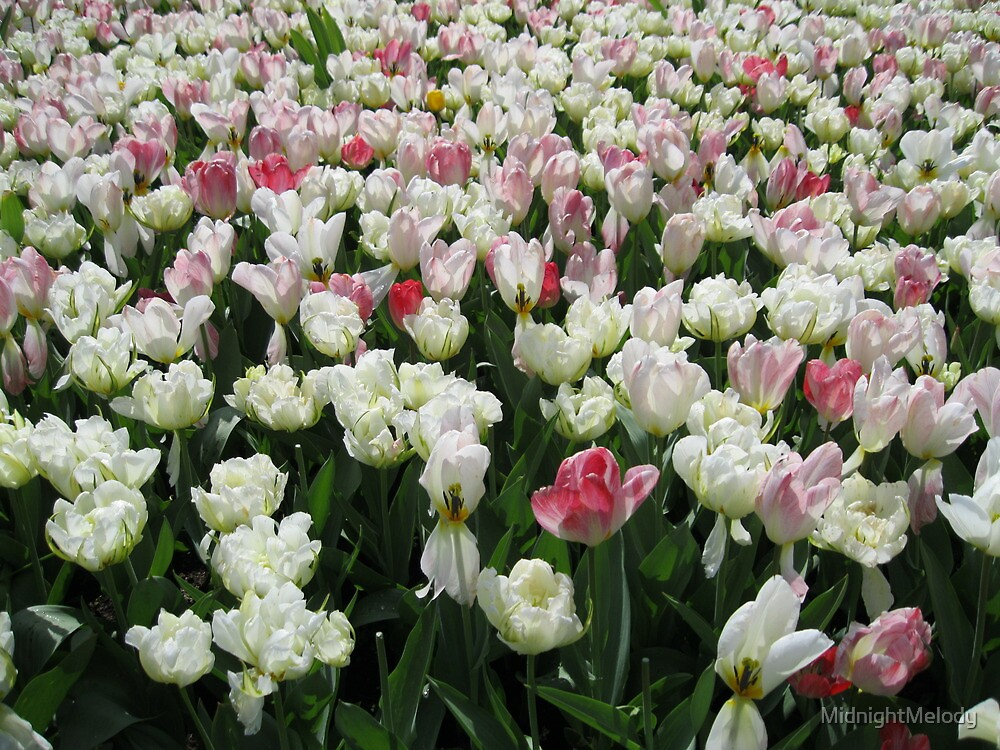 Pretty Pink and White Tulips - Keukenhof Gardens by MidnightMelody