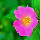 Texas Wildflower - Wild Rose by aprilann