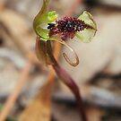 Chiloglottis reflexa   (Autumn Wasp-orchid) by Russell Mawson