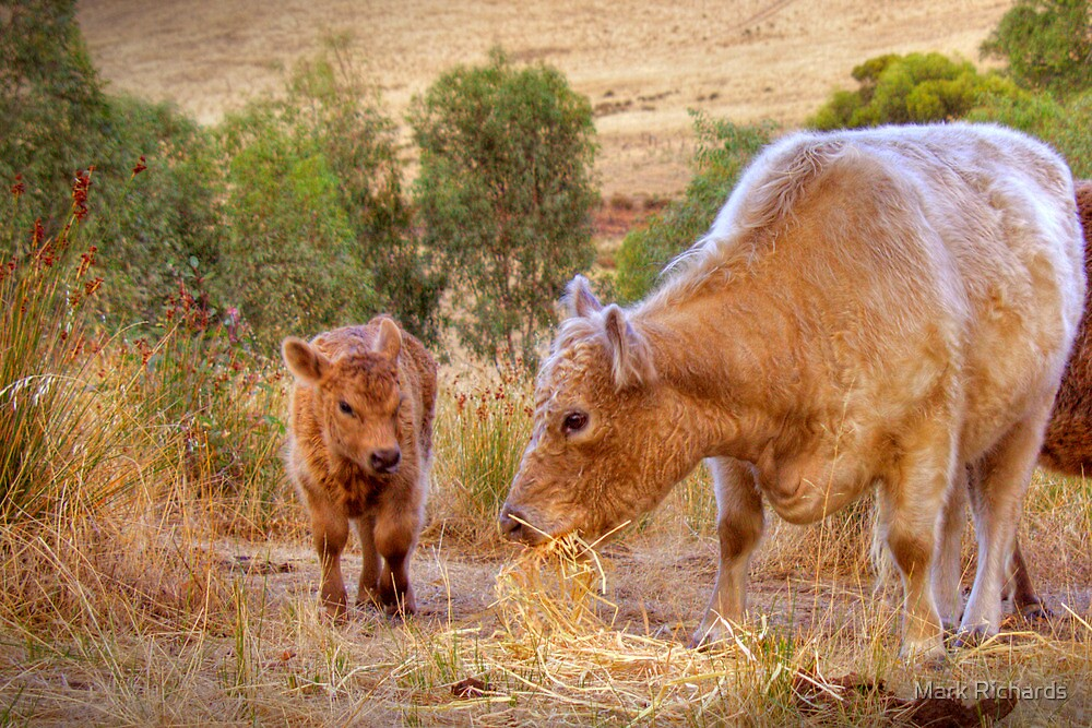Mother and Daughter - Galloway Cows, Kanmantoo, Adelaide Hllls, SA by Mark Richards