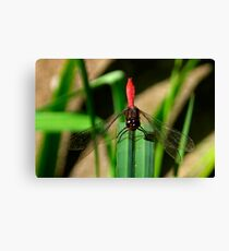 Ready For Takeoff - Australian Red Dragon Fly Canvas Print