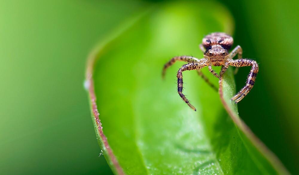 Balancing Spider macro by Evogance