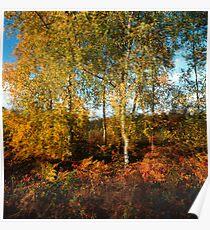 Autumn coloured birch trees Poster