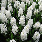 Heavenly Hyacinths - Keukenhof Gardens von BlueMoonRose