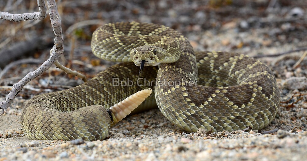 Mohave Green Rattlesnake Coiled and Ready by Bob Christopher