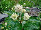 Common Buttonbush - Cephalanthus occidentalis by MotherNature