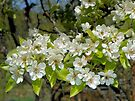 Pear Blossoms by Betty  Town Duncan