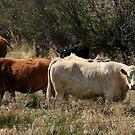 Alberta Dairy Cows by Joyce Peters
