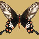 Rose Swallowtail Butterfly by Walter Colvin