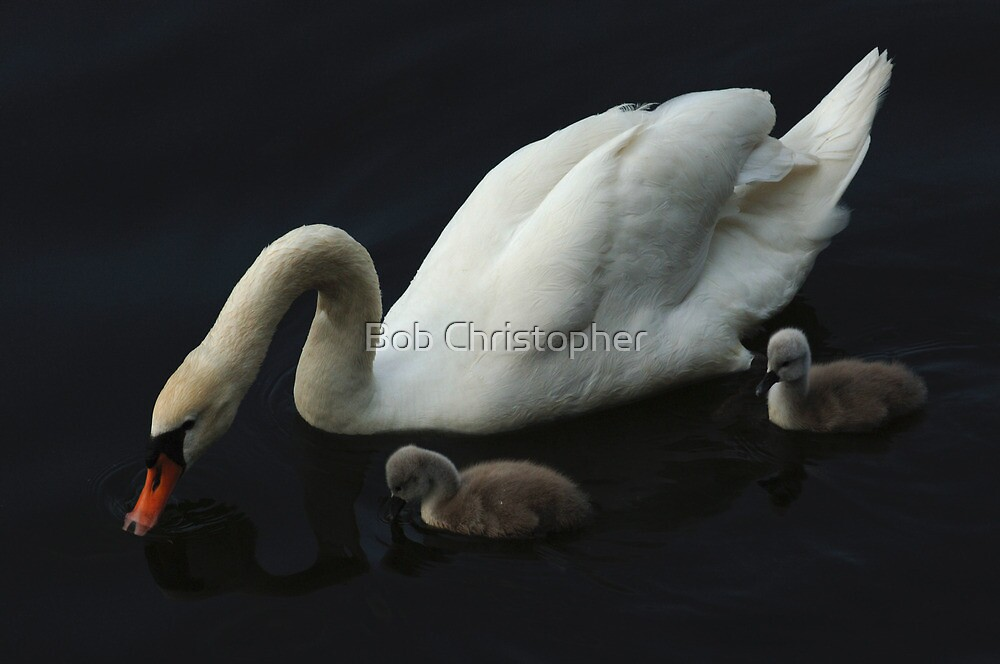 White Swan With Signets by Bob Christopher