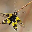 Owlfly - Ascalaphus libelluloides by Robert Abraham