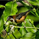 Eastern Spinebill by Barb Leopold
