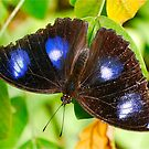 Male Varied Eggfly by peasticks