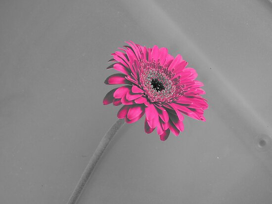 Fuschia Gerbera by CreativeEm