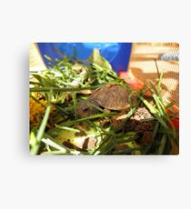 Box Turtle. Canvas Print