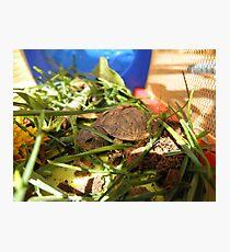 Box Turtle. Photographic Print
