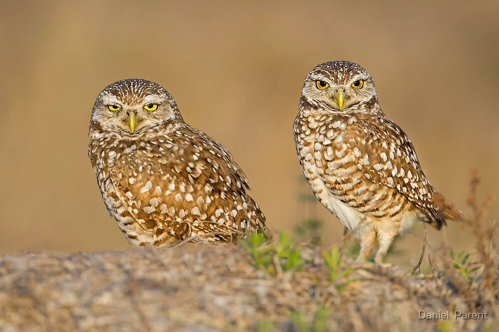 Owl Couple by Daniel  Parent