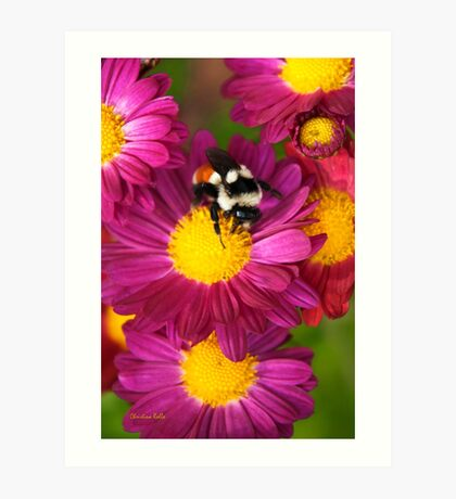 Red Tailed Bumble Bee Art Print