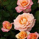 Rose in Rain 302 by Daniel H Chui