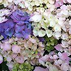 Hydrangeas by Julie Van Tosh Photography