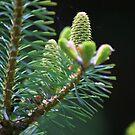 Fir Tree by John Dalkin