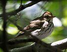 Ovenbird by Dennis Cheeseman