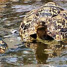 JUVENILE AND MOTHER - MOUNTAIN - LEOPARD TORTOISE – Geochelone pardalis by Magriet Meintjes