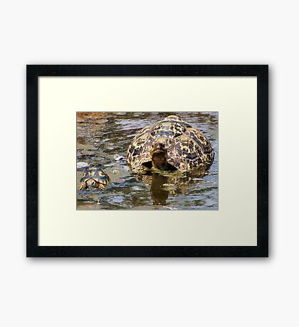 JUVENILE AND MOTHER - MOUNTAIN - LEOPARD TORTOISE – Geochelone pardalis Framed Print