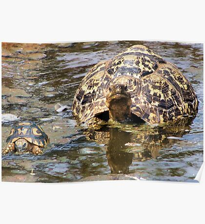 JUVENILE AND MOTHER - MOUNTAIN - LEOPARD TORTOISE – Geochelone pardalis Poster