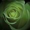Green Roses for St Patrick's Day