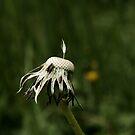 dandelion by Janice Cheng