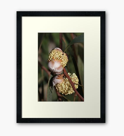 Hakea  Framed Print