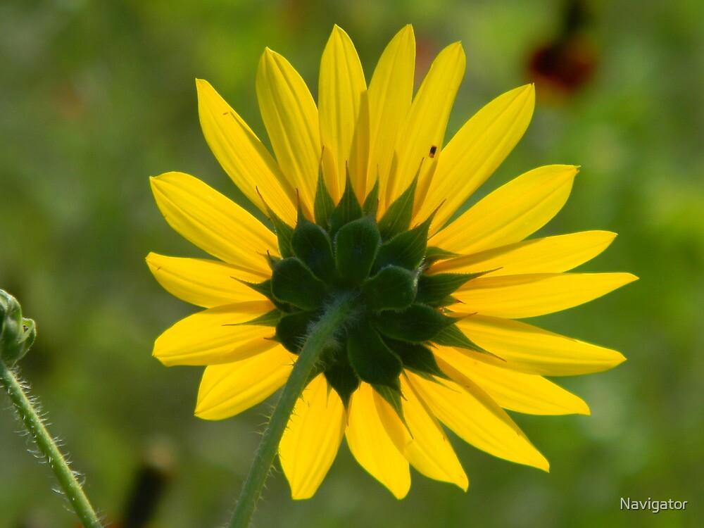 Sunflower Follows the Sun by Navigator