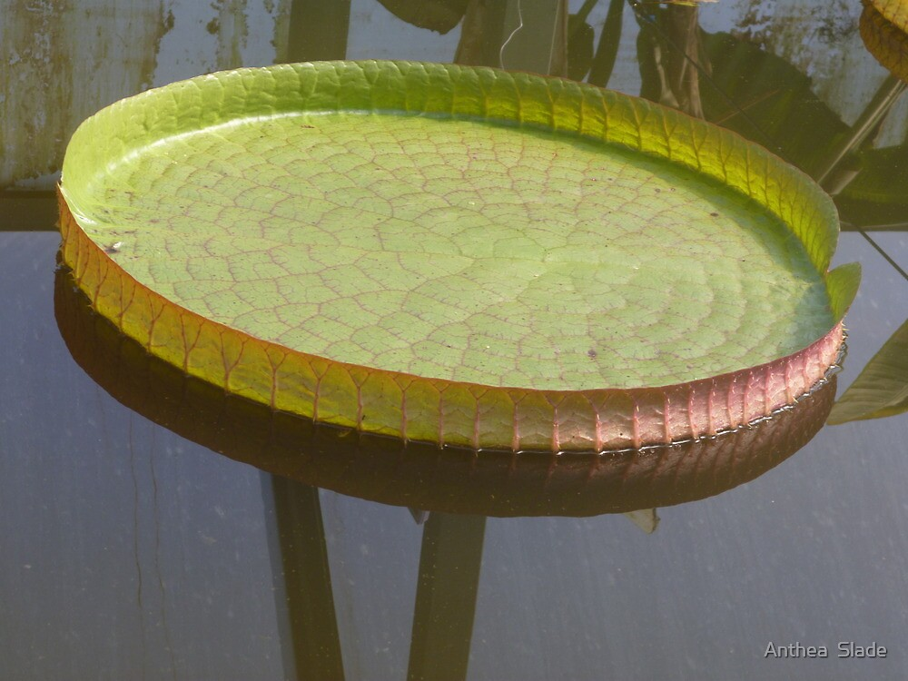 Giant Lily Pad by Anthea  Slade