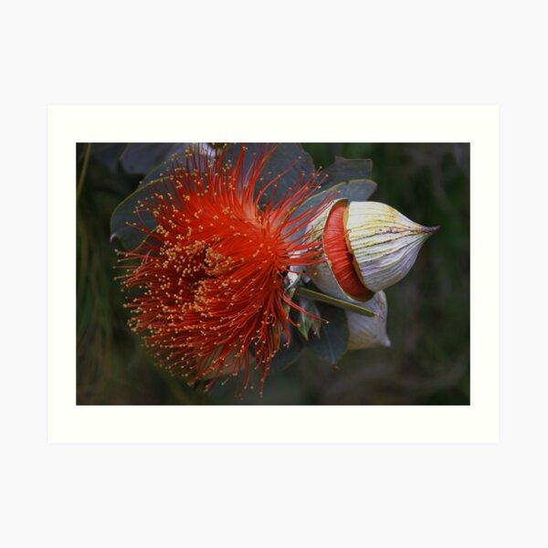 Eucalyptus macrocarpa Art Print
