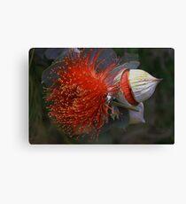 Eucalyptus macrocarpa Canvas Print